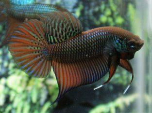 Smaradigna wild betta fish for sale