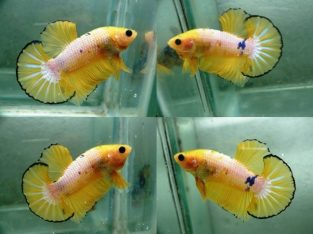 Yellow fancy HMPK for sale – Fancy betta fishv