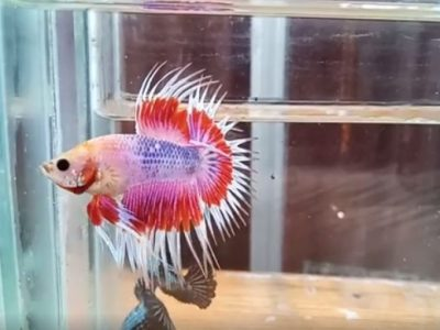 Fancy Crowntail Betta – Video Available