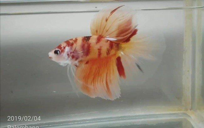 Fancy Halfmoon Betta for sale – Video available
