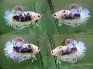 Fancy HMPK For Sale – Fancy betta fish