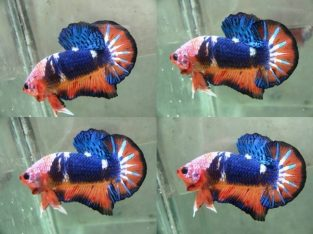 Orange fancy HMPK For Sale – Fancy betta