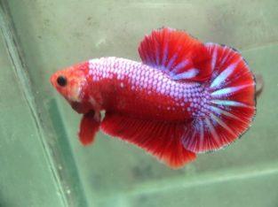 Red Fancy HMPK for sale – Red Fancy betta