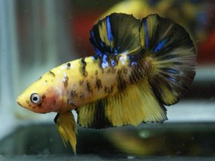 Pair Tiger Koi Halfmoon Plakat for sale