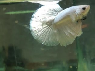 White Halfmoon Betta – White Betta Fish