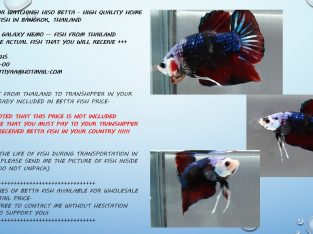 HMPK FANCY GALAXY NEMO KOI — LIVE FISH FROM THAILAND
