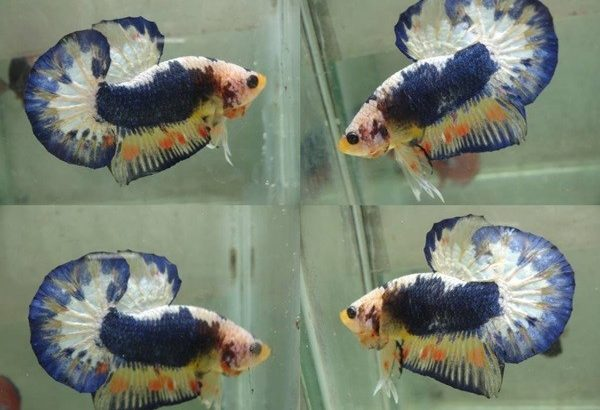 Blue Fancy Halfmoon Plakat For Sale – Blue Fancy Betta Fish