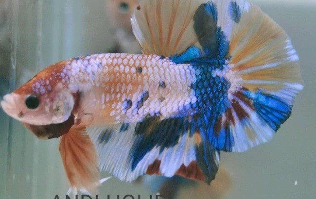 Fancy Giant Betta Fish Body 5 cm