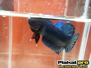 Super betta fighter good for long game #P-268