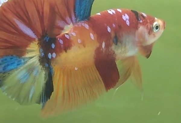 Galaxy Fancy Giant Betta Fish – Galaxy betta