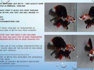HM Fancy PAINT IT BLACK – Live fish from Thailand