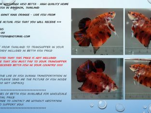 GIANT BETTA FISH HMPK KING ORANGE — LIVE FISH FROM THAILAND