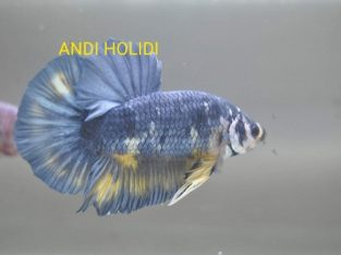 Marble Giant Betta For Sale – Body 5.8 cm