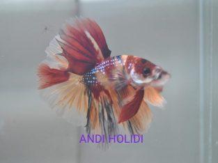 Pack 3 fish $100 – Nemo Galaxy Halfmoon Betta