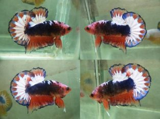 Orange Fancy Halfmoon Plakat – Orange Fancy Betta Fish