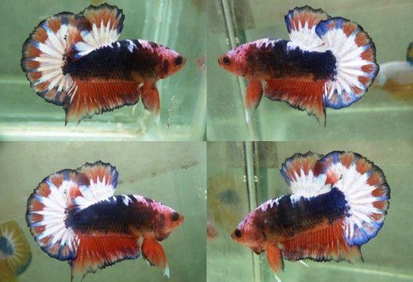 Orange Fancy Halfmoon Plakat – Orange Fancy Betta Fish