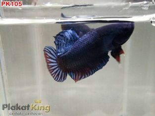 Strong mouth and sharp teeth betta fighter for sale #PK105