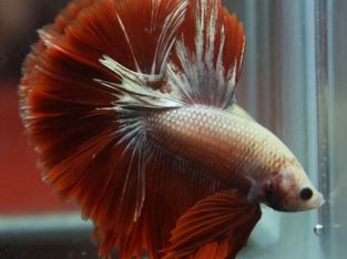 Red Dragon Halfmoon Betta For Sale