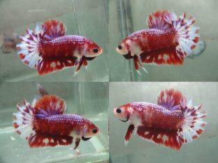 Red Fancy Halfmoon Plakat For Sale – Red Fancy Betta Fish