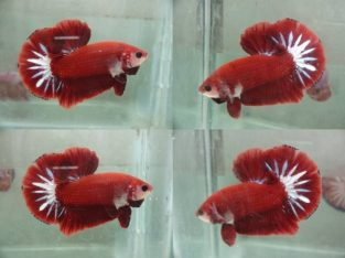 Red Halfmoon Plakat For Sale – Red Betta Fish