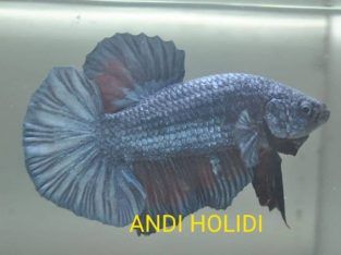 Steel Blue Giant Betta Body 5.3 cm
