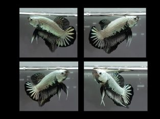 ++ MALE HMPK Black DRAGON ++ Live fish from Thailand