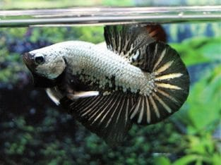 Black Fancy HMPK – Black Fancy Betta Fish