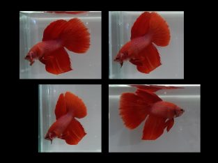 ++ MALE HM FANCY RED ++ Live fish from Thailand