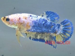 Female Giant Betta Fish For Sale Body 3 cm+