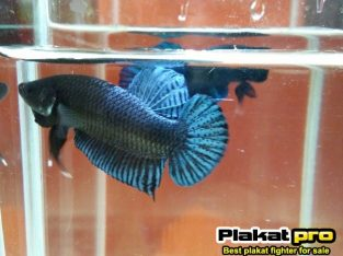 #P-269 betta fighter very good structure body – Powerful and very good power attack