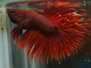 Grade A Red Crowntail Betta