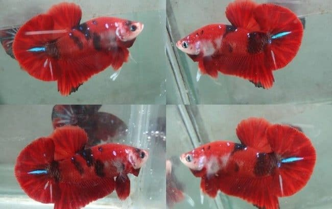 Red Fancy HMPK – Red Fancy Betta Fish For Sale