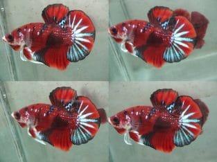 Red Fancy HMPK – Red Fancy Betta Fish For Sale