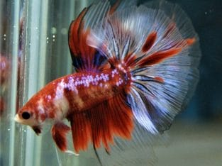 Red Koi Halfmoon Betta – Code 12