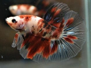 Grade A Red Koi Halfmoon Betta Medium Size – Code 13