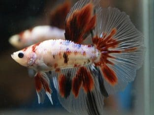 Red Koi Halfmoon Betta – Code 14