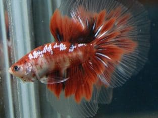 Red Koi Halfmoon Betta – Code 15