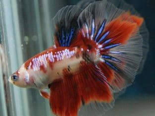 Red Koi Halfmoon Betta – Code 16