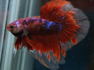 Red Koi Halfmoon Betta – Code 17