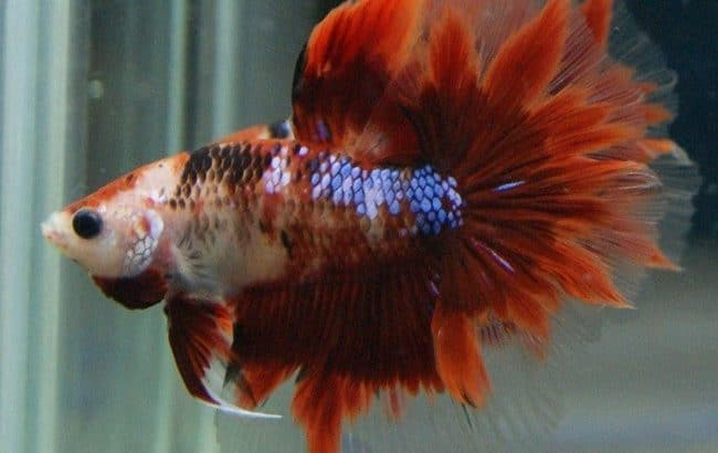Red Koi Halfmoon Betta – Code 18