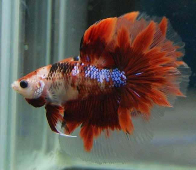 Red Koi Halfmoon Betta - Code 18 - Center of live betta fish for sale