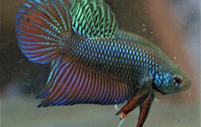 Smaradigna Green Wild Betta Fish – Available 800 fish