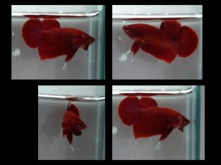 ++ MALE HMPK Super RED ++ Live fish from Thailand