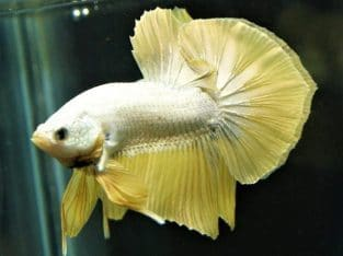 Grade A Yellow Dragon HMPK – Dragon Betta Fish