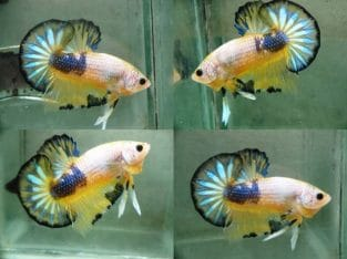 Yellow Fancy HMPK – Yellow Fancy Betta Fish For Sale