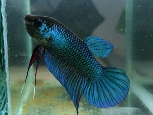 Wild Betta Imbellis HYBRID BLUE — Live fish from Thailand