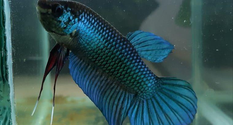Wild Betta Imbellis HYBRID BLUE — Live fish from Thailand