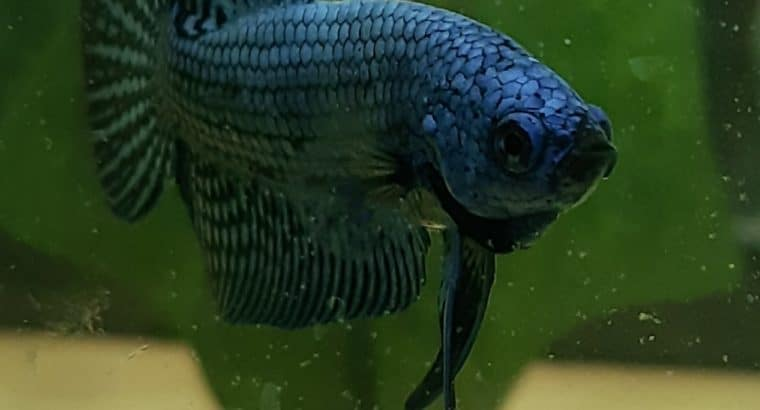 Wild Betta Hybrid ALIEN Electric BLUE color — Live betta fish from Thailand
