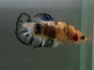 Female Halfmoon Plakat HMPK Koi Fancy yellow and black — Live fish from Thailand