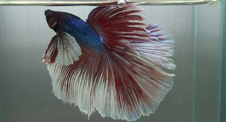 Halfmoon MALE Dumbo Big ear Lavender Betta fish — Live fish from Thailand